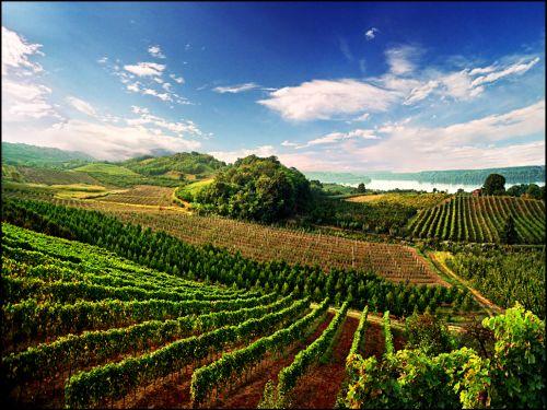 Резултат слика за херцеговина виногради