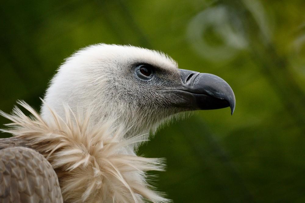 Griffin Vulture Adventures